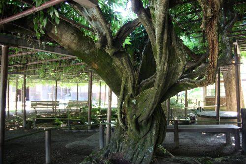 Glycine centenaire au musée des cultures du Nord à Niigata, Japon
