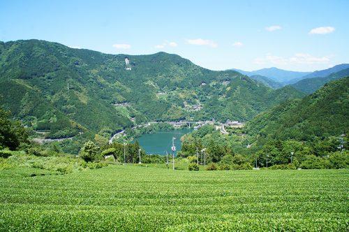 Les champs de thé dans la préfecture de Kochi, Japon