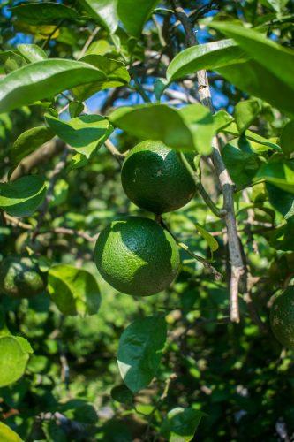 Arbre fruitier dans une ferme près de la ville d'Usuki, préfecture d'Oita, Japon