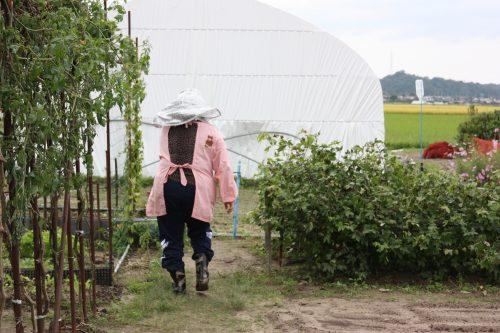 Plants de coton bio pour la fabrication de Yumihama-gasuri, à Yonago, préfecture de Tottori, Japon