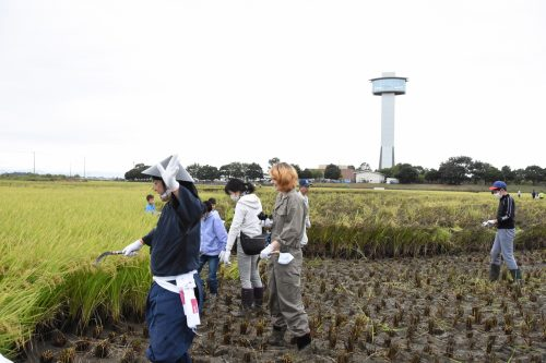 Récolte de riz pour créer l'oeuvre de Tambo Art à Gyoda, préfecture de Saitama, Japon