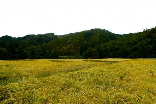 Les rizières dorées de Murakami, préfecture de Niigata, Japon