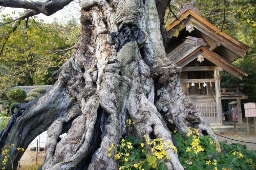 Arbre millénaire aux alentours du grand sanctuaire d'Izumo, région du San'in, préfecture de Shimane, Japon