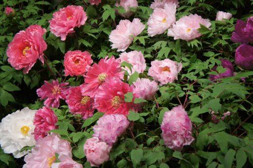 Pivoines au Jardin japonais Yuushien, non loin du Musée d'art Adachi, Yasugi, préfecture de Shimane, région de San'in, Japon