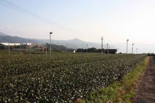 Paysage de champs de thé vert à Higashisonogi, préfecture de Nagasaki