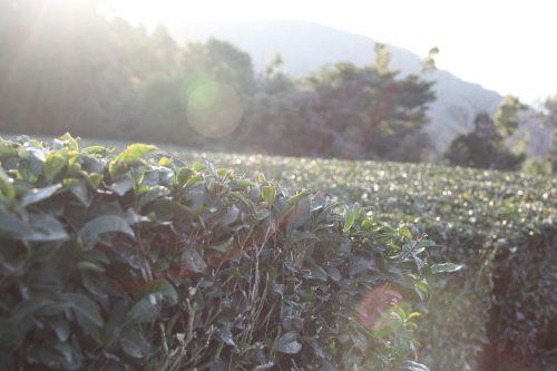 Les buissons de thé vert dans un champ de thé à Higashisonogi, préfecture de Nagasaki