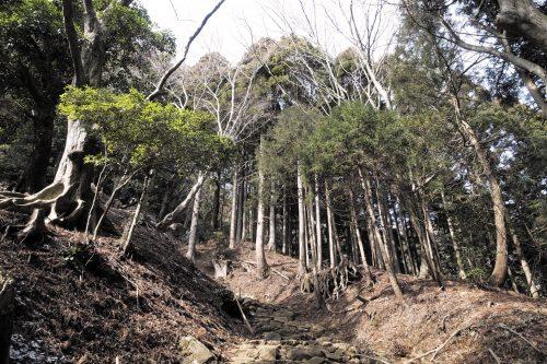 Les immenses arbres de la forêt du Mt Oyama, préfecture de Kanagawa, Japon