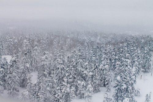 Asahidake, Hokkaido : forêt de pins enneigée