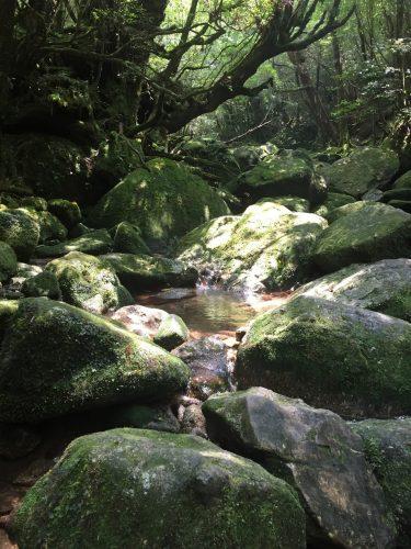 Ruisseau et pierres recouvertes de mousse sur le chemin de Shiratani Unsuikyo sur l'île de Yakushima, Japon