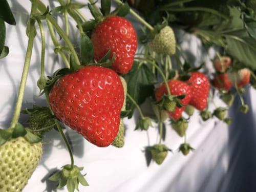"""Les belles fraises """"ruby"""" d'Asuka"""