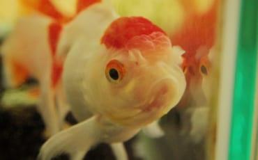Gros plan sur un poisson rouge rouge et blanc