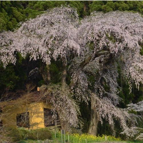 cherry blossoms in Nagano