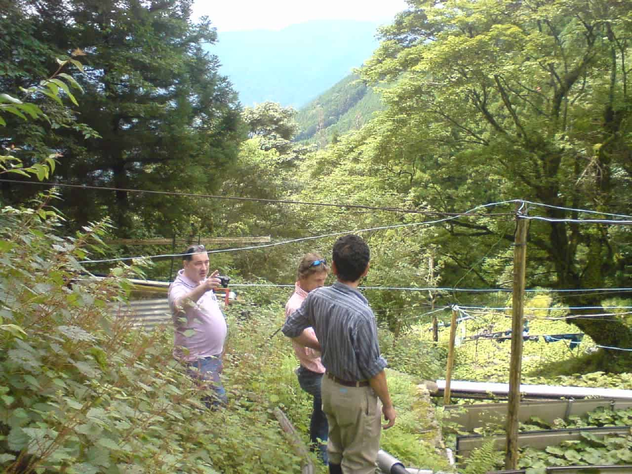 wasabi,mountain,field,green,root,plant,mountain,Shizuoka,Japanese,horseradish,mustard
