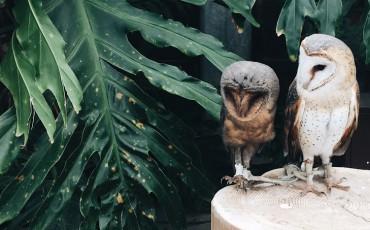 owls,birds