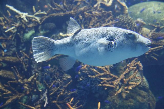 pufferfish or blowfish