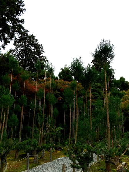 tall trees of the Ryoanji Temple garden in Kyoto