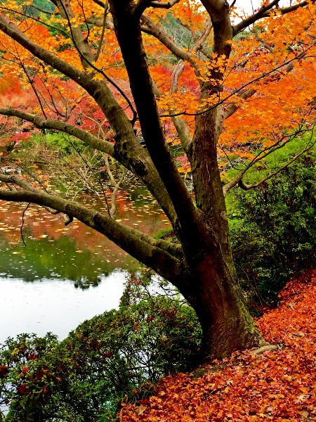 Ryoanji Temple in Kyoto is famous for beautiful autumn color flora