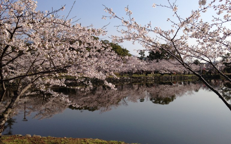 park,pond,cherry blossoms,sakura