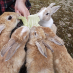 Rabbit Island: Take a trip to Okunoshima!