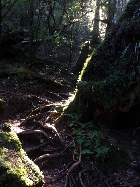 Yakusugi tree touched by branching light, Yakushima