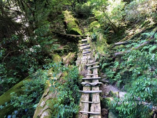 Gnarled nature stairs like a felled tree, Yakusugi Land
