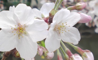 cherry,blossom,flowers,sumpu,sunpu,castle
