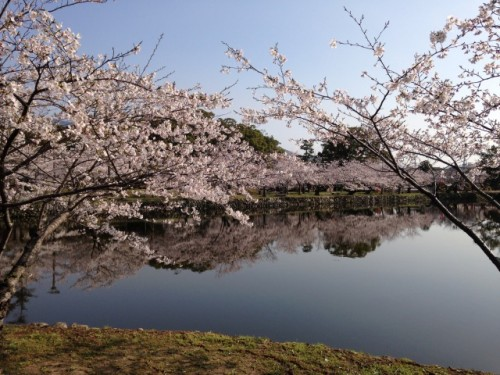Have a nice relax with viewing cherry blossoms in Ogi park