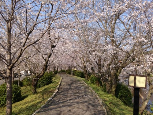 Ogi Park pathway in Saga prefecture, cherry blossom blooming!