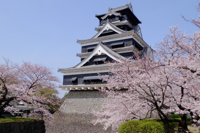 cherry blossom among Kumamoto Castle, rich in history