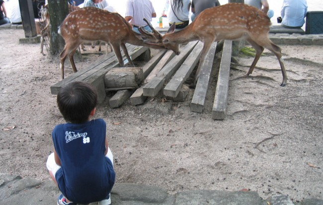 Miyajima , Japan is also famous for it's deer along with Shrine