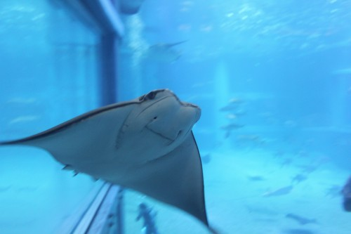 Sting ray and other sea animals in the Osaka aquarium