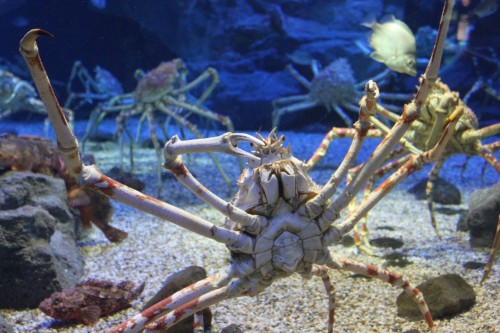 Spider crabs and other sea animals in the Osaka aquarium