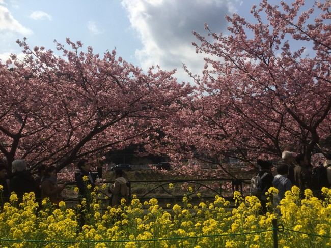 Cherryblossom along the river during Kawazu-Sakura Festival