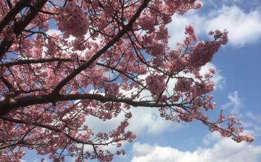 cherry blossom,Cherry Blossoms,cherryblossom,cherryblossoms,Izu,Japan,kawazu,matusi,Nature,sakura,Shizuoka,Spring,travel,wanderlust
