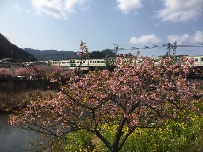 Cherryblossom blooms during Kawazu-Sakura Festival