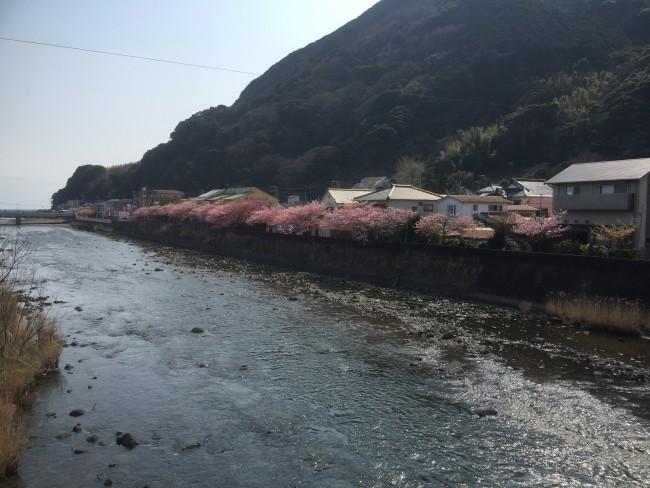 Cherryblossom during Kawazu-Sakura Festival
