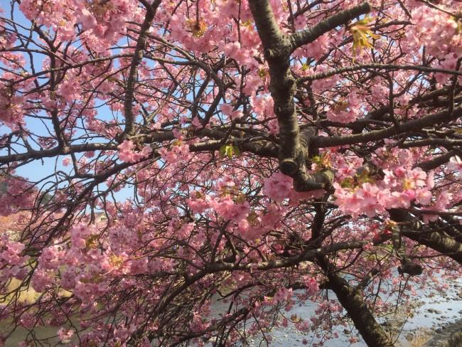 Cherryblossom bloom during Kawazu-Sakura Festival