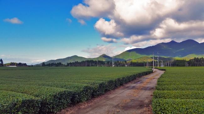 Green tea fields alongside a road not far from the restaurant.