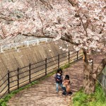 Nagayo Kodago Cherry Blossoms. Walk in to a tunnel of pink petals.