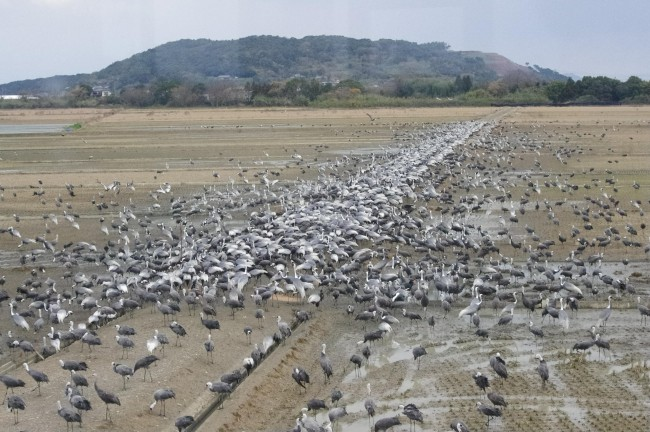 the only place to see so many cranes in one place in Kagoshima Japan
