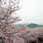 Nagasaki, one amazing cherry blossom universe.
