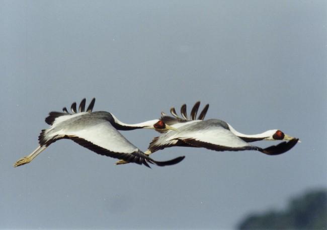 Some rarer types of crane also migrate to Izumi Japan