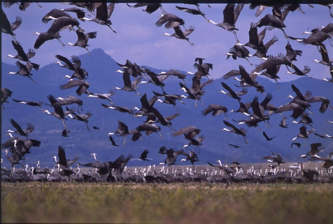 crane migration season to Izumi Japan Kagoshima is from the end of October to the end of March the following year