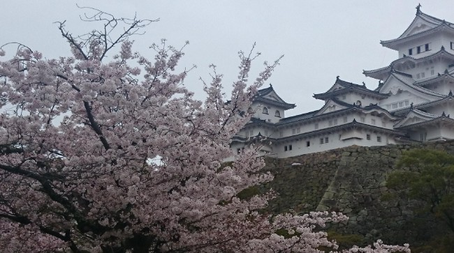 Himeji castle looking over its blossoms