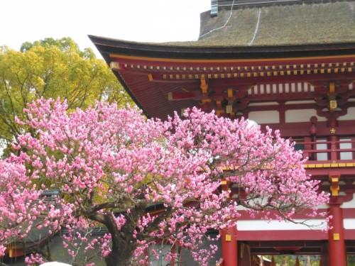 plum blossom tree in shrine in Dazaifu, Fukuoka