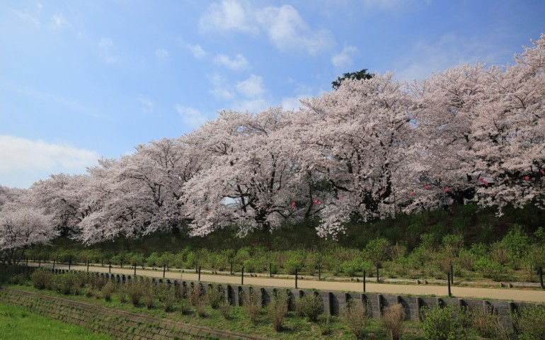 Cherry blossoms, sakura, in Japan