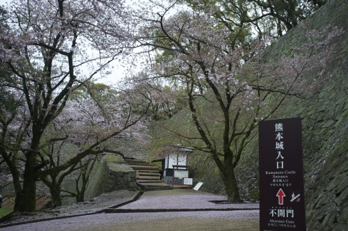 Kumamoto castle and its cherry blossom trees