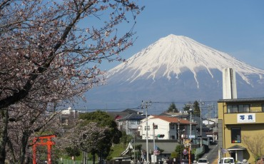 View of Mount Fuji and cherry blossom trees in Fujinomiya.