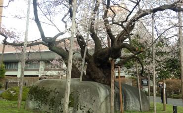 sakura,hanami,garden,morioka,history