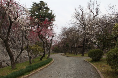 Morioka Castle with some chery blossom trees at the side of the road.